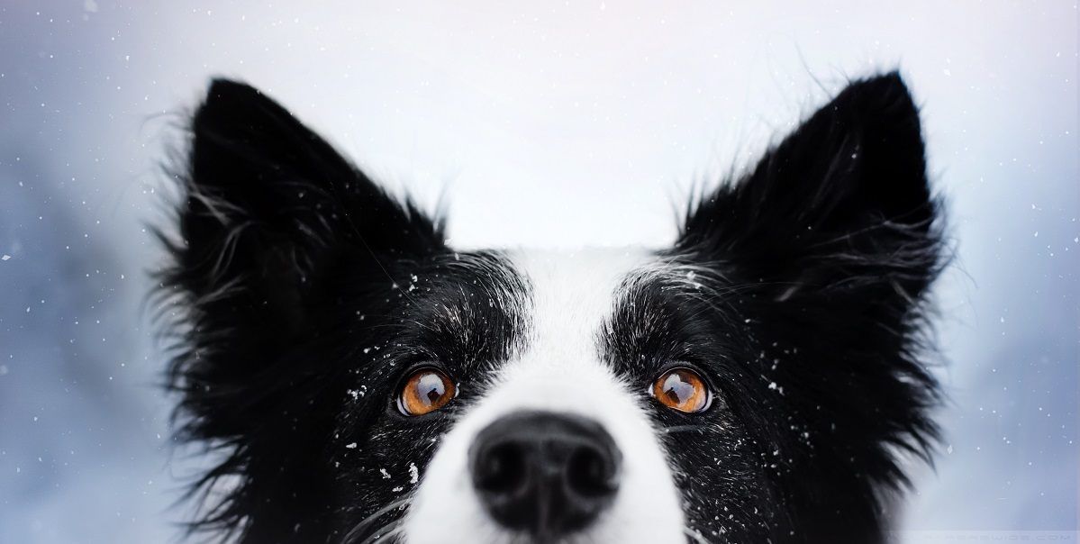 Border collie. Nieve. Dog Ventura.